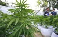 Diputado Castro llama al gobierno a sumarse a proyecto que despenaliza auto cultivo y uso medicinal de marihuana