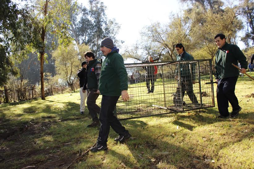 Avistamiento de puma en Cerro San Juan de Machalí generó intenso operativo
