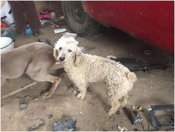 PDI Recupera Poodle sustraído en sector norte de Rancagua