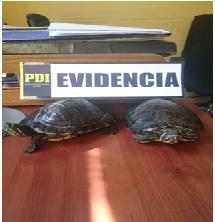 PDI Recupera dos tortugas robadas desde una granja educativa de Machalí