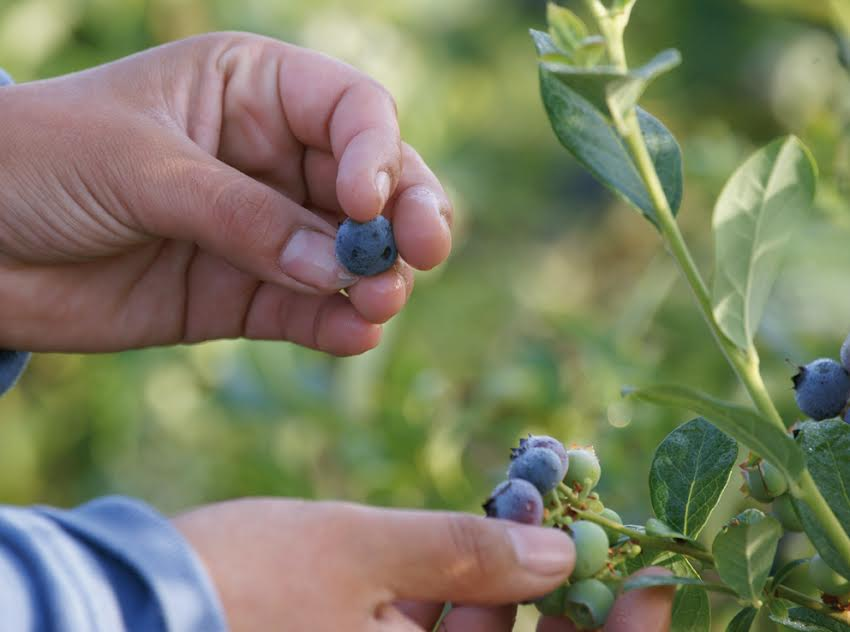 Exportación de arándanos aumenta un 7% en la Región de O'Higgins, pero temporada termina con sabor amargo para industria