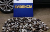 En Pichilemu incautan locos en veda provenientes de pesca ilegal