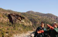 Águila vuelve a volar en el Valle del Alto Cachapoal
