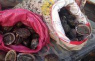 Sernapesca y Armada incautan mil locos extraídos ilegalmente en costa de Pichilemu