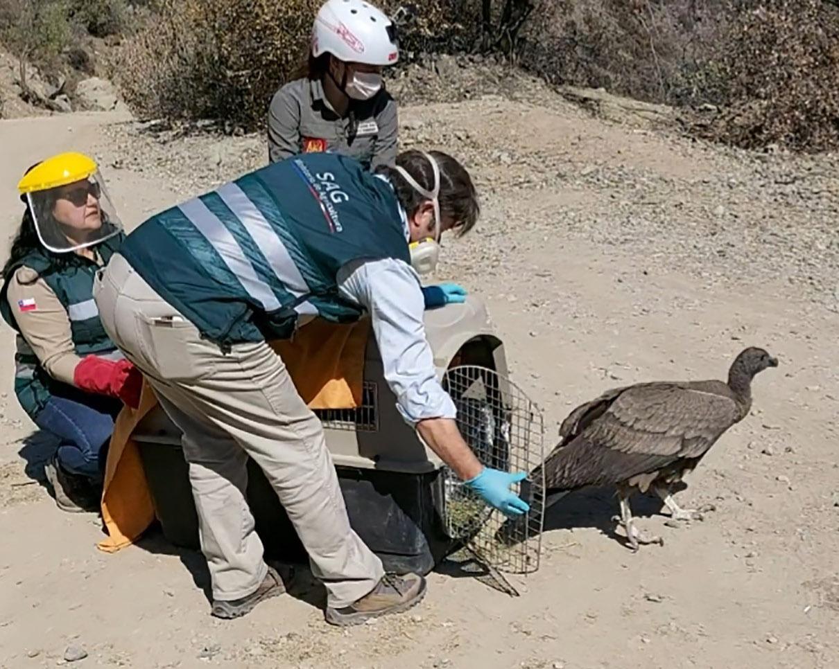 SAG O'Higgins y Parque Safari liberaron cóndor en Pangal