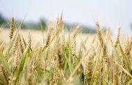 Falta de mano de obra y sequía complican al sector agrícola
